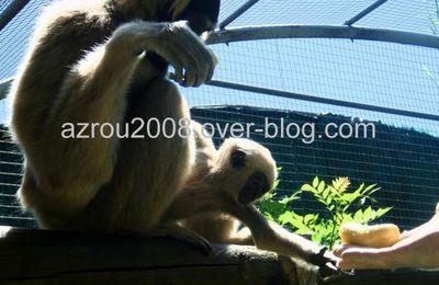 Premier contact entre un jeune gibbon et son soigneur-animalier