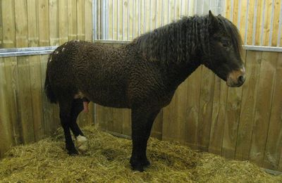 Le Curly, salon du cheval 2008
