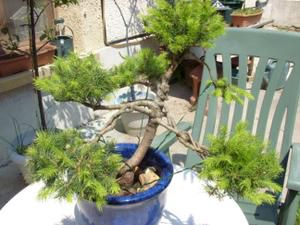 BONSAI ou pas BONSAI..... serait-ce la question !