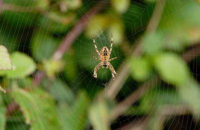 Une araignée commune, l'Epeire diadème