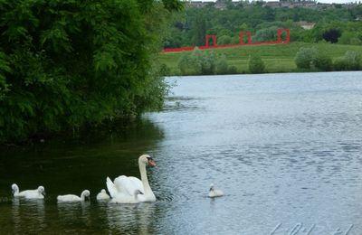 cygnes d'étang