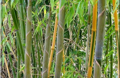 Bambou Phyllostachys Bisseti...