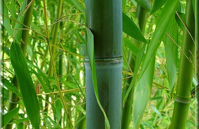 Bambou Phyllostachys Glauca...