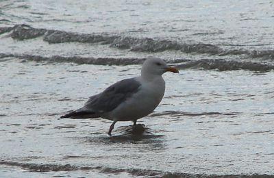 oiseaux du bord de mer : le Goéland argenté
