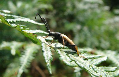 Stictoleptura ruba (mâle)