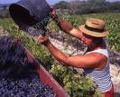 Rendement Des Vendanges 2009: 9700kg/hectare Pour Le Champagne.