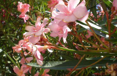 LE LAURIER-ROSE (Nerium oleander)