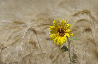 Fleur de tournesol seule face à un champ de blé ......