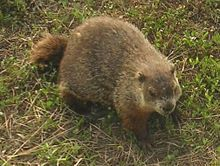 Happy Ground Hog's Day - Happy Chandeleur !