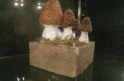 La morille, musée des champignons
