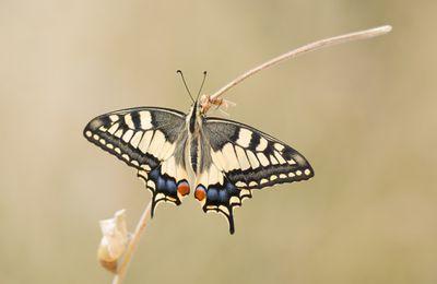 Naissance du papillon - machaon -
