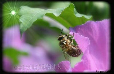 Une abeille dans mes hibiscus,