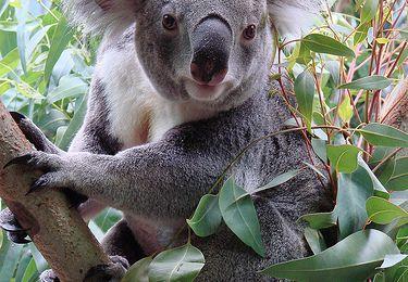 Un zoo américain fait venir de France Bulkee, un koala