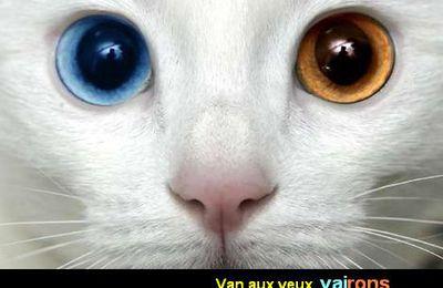 Un chat nageur ! Le chat de VAN...