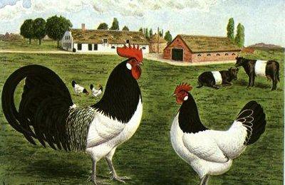 N°63 La poule Lakenvelder ( ou Lakenfelder)