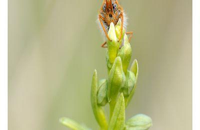 L'ophrys et le Damier de la Succise