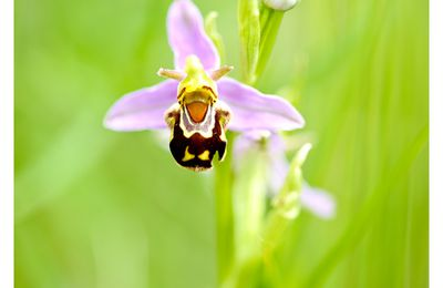 Orchis Abeille