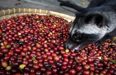 un mammifaire qui produit du café