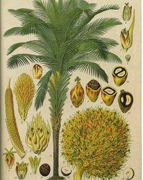 Huile de palme : un produit durable ?