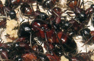 Fondation chez Camponotus ligniperdus