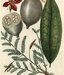 L'arbre jagua (genipa americana L.)