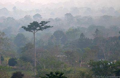 Le cuipo, (Cavanillesia platanifolia) le grand arbre du Darien aux allures de sentinelle.