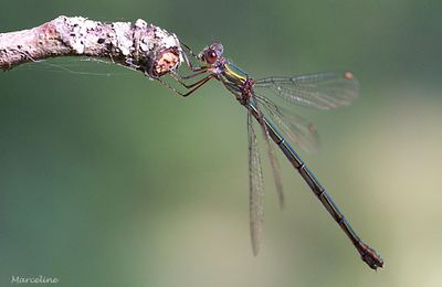 Agrion sauvage