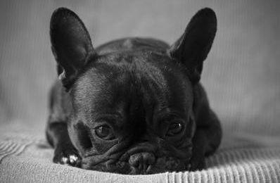 Bouledogue français noir et blanc (caille)... - BEST