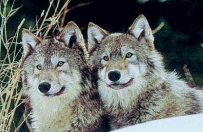 Dix raisons pour aimer les loups.