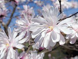 Magnolia Stellata.