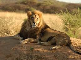THE LION AT HOME SWEET HOME