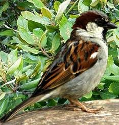 The gregarious House Sparrow is an Opportunist