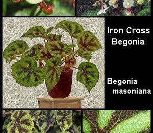 Iron Cross Begonia Leaves are Unmistakeable