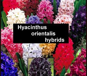 Hyacinth Flowers can be forced into Winter-Blooming