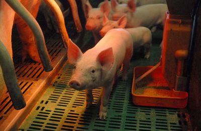 Nouvelles images de maltraitance animale dans deux abattoirs français
