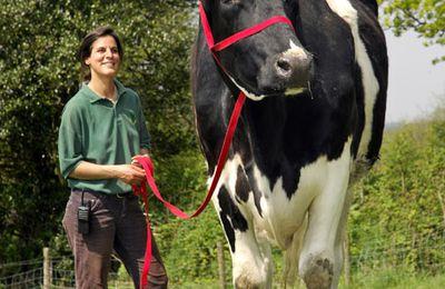 البقره العملاق