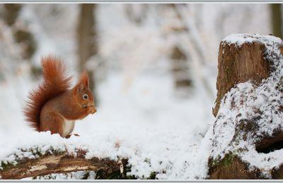 L'écureuil dans la neige