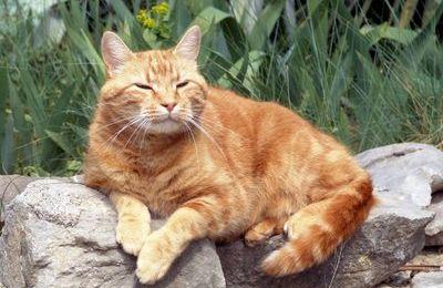 Le chat roux de mon voisin