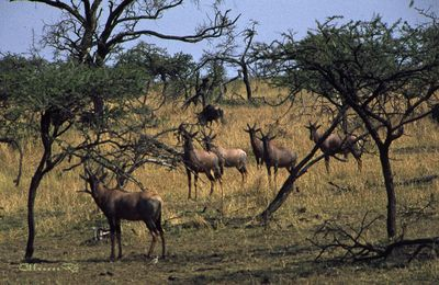 Le parc national du Serengeti.