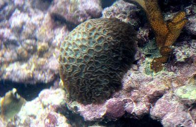 faune : anthozoaires : scléractiniaires (coraux durs...)