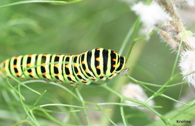 Larve de machaon et moucheron