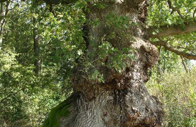 arbre: le vénérable
