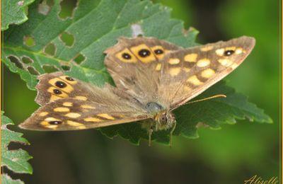 Joli papillon: Tircis