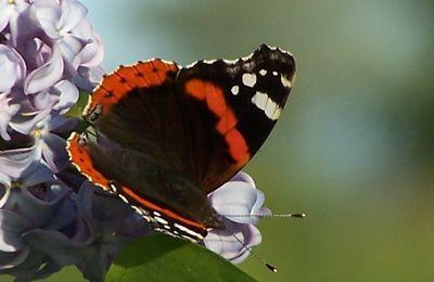La minette et le papillon