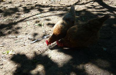 La poule qui a trouvé une fourchette (article paru en juillet 2010)