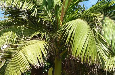 Archontophoenix: The King of Palm trees!...
