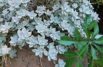 Graptopetalum paraguayense: une succulente à adopter!...