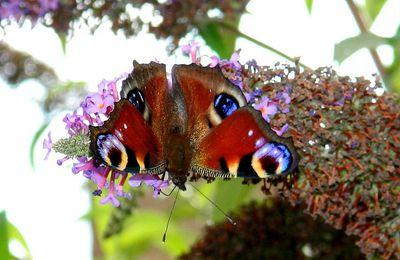Papillons des jardins