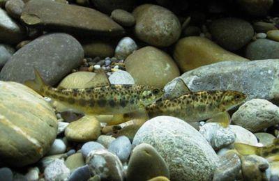 """Samedi 14 septembre - Avec l'association """"Au fil du Rhin"""", parrainez un saumon !"""