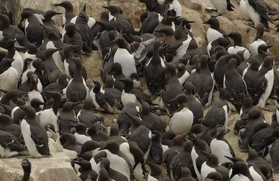 13-16 juin 2010 : Farnes Islands - Guillemots de Troil